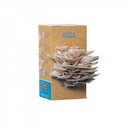 Organic seeds - Bunch of oyster mushrooms-gray - Ready to push
