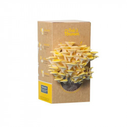 Organic seeds - Bunch of oyster mushrooms yellow - Ready to push