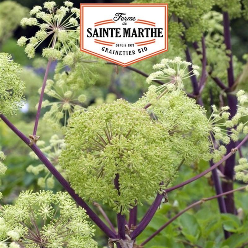 <x>La ferme Sainte Marthe</x> - 500 seeds Angelica officinalis