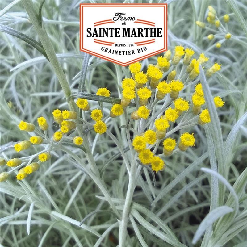 <x>La ferme Sainte Marthe</x> - 250 seeds Helichryse Curry plant