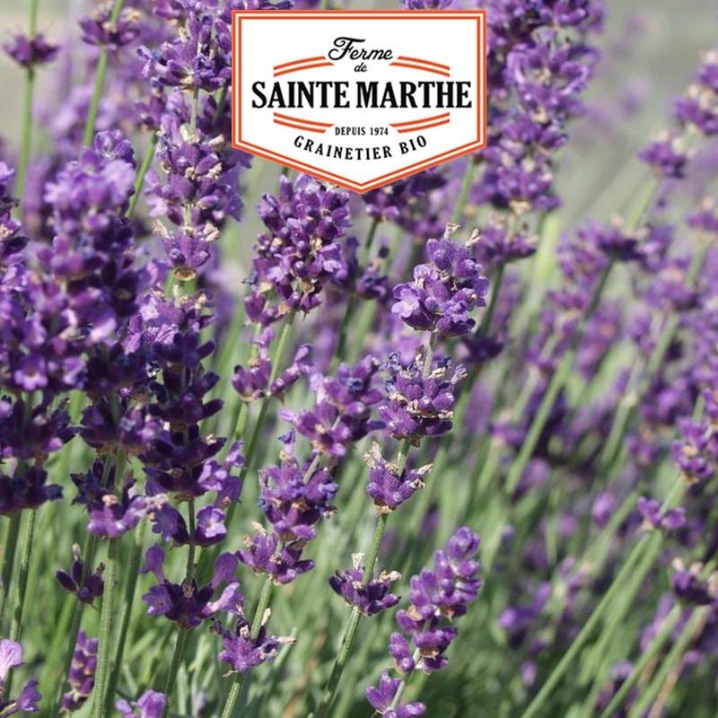 <x>La ferme Sainte Marthe</x> - 500 seeds Lavender Officinale