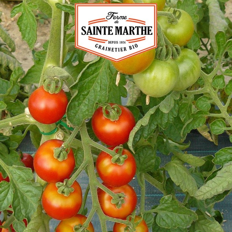 <x>La ferme Sainte Marthe</x> - 50 seeds Honey Tomato from Mexico