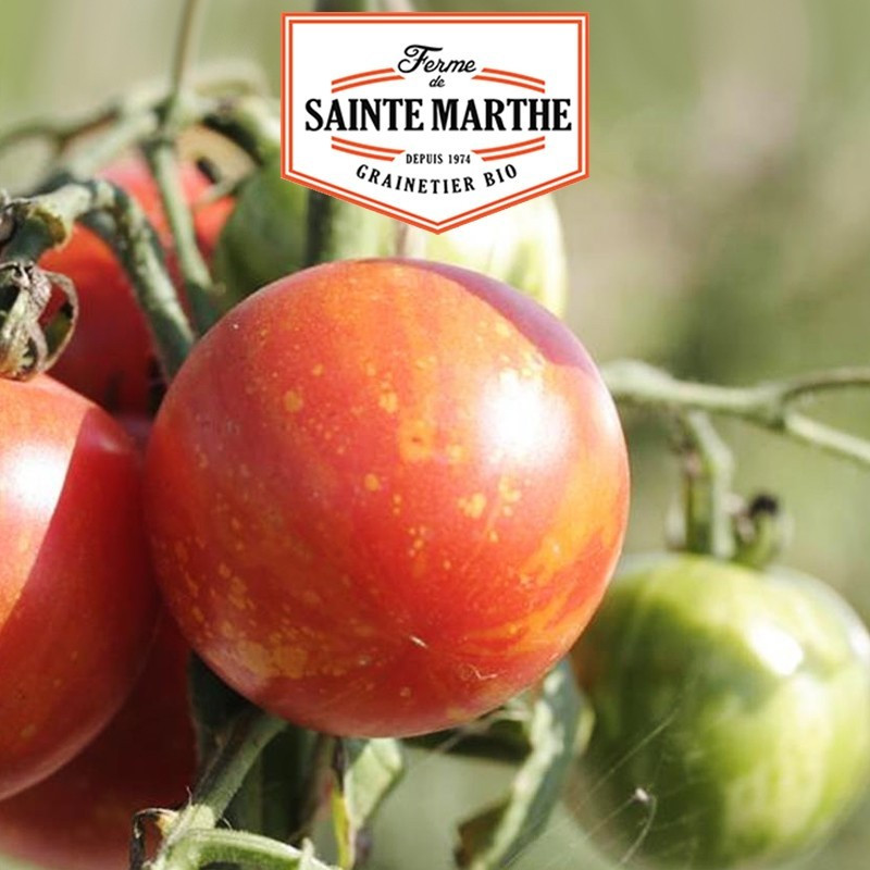 <x>La ferme Sainte Marthe</x> - 50 seeds Tomato Tigrella Bicolore