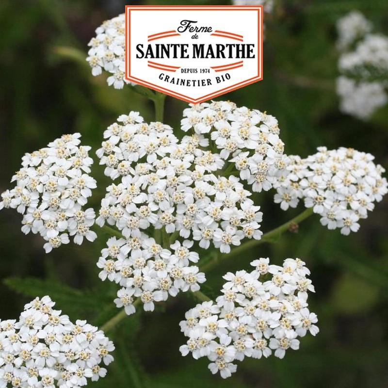 <x>La ferme Sainte Marthe</x> - 1,000 seeds Yarrow Yarrow