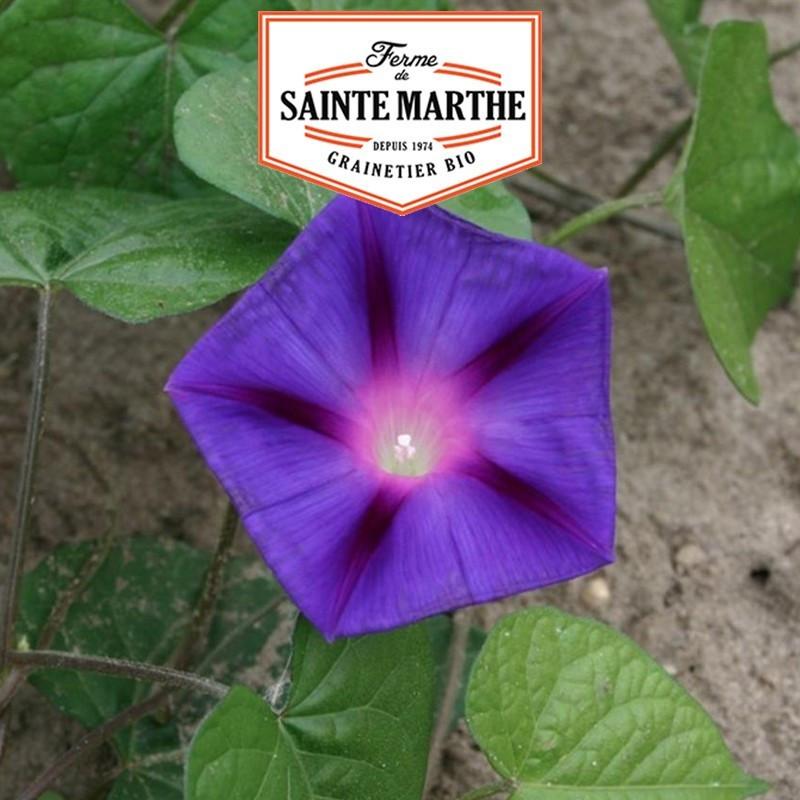 <x>La ferme Sainte Marthe</x> - 125 seeds Ipomée Purple
