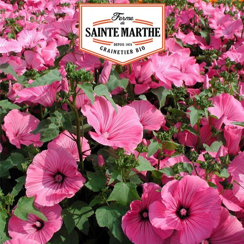 <x>La ferme Sainte Marthe</x> - 500 seeds Lavatere Annual