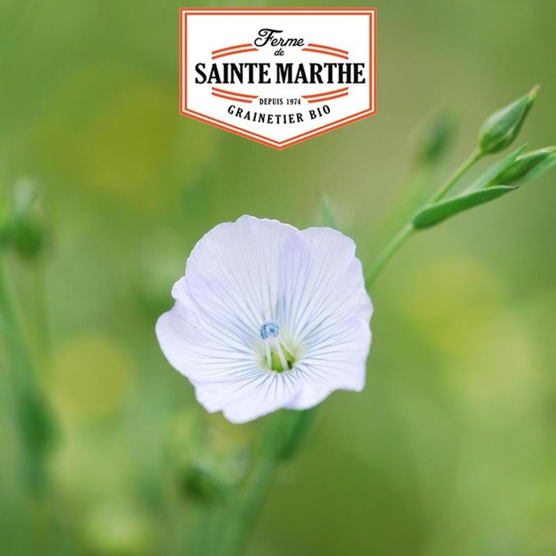 <x>La ferme Sainte Marthe</x> - 650 seeds White Flax