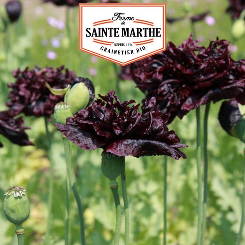 <x>La ferme Sainte Marthe</x> - 2,000 seeds Black Peony Poppy