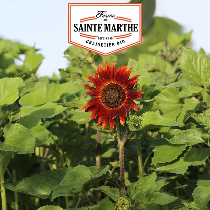<x>La ferme Sainte Marthe</x> - 50 seeds Red Sunflower