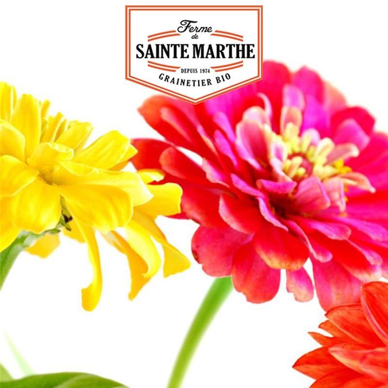 <x>La ferme Sainte Marthe</x> - 150 seeds Zinnia Elegans Double Varied