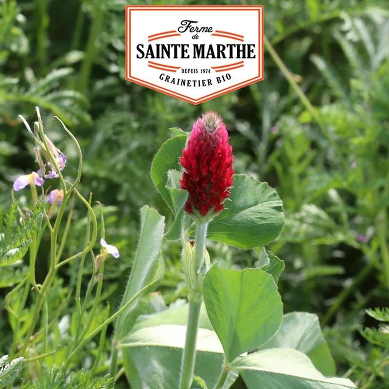 <x>La ferme Sainte Marthe</x> - 300 grams Clover Incarnat